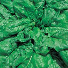 Long stending / long standings — spinach, hortus