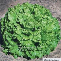 Imedzhineyshn / imagination rz - salad, rijk zwaan