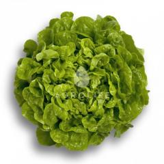 Kitoniya / kitonia rz - salad, rijk zwaan of 1000