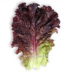 Kc 101 f1/ks 101 f1 — salad, kitanoseeds of 5