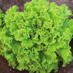 Gentilina / gentilina — salad, sais of 50 grams