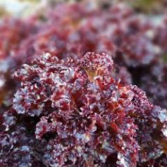 Verala / verala — salad, moravoseed of 10000 seeds