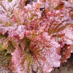 Dew retted / rosela — salad, moravoseed of 10000