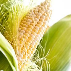 Shaynrok f1/shinerock f1 — corn, syngenta of 100