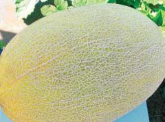 Mang f1/mun f1 — a melon, syngenta of 500 seeds
