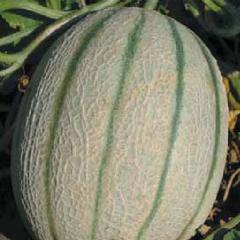 Orthofallow deer / ortolani — a melon, hortus of