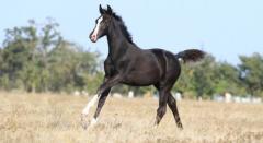 Молодые лошади племенные, порода: украинская верховая, Конный завод Статус, ООО