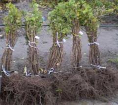 Arbres en plant d'arbres fruitiers
