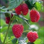 Saplings of raspberry remontantny sale Vinnytsia