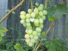 Виноград белый гармоничный