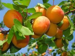 Apricot saplings Vinnytsia Ukraine