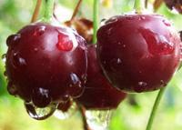 Саженцы вишни Винница Украина