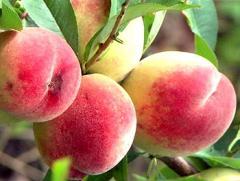 Peach saplings Vinnytsia Ukraine
