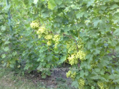 Grapes white musca