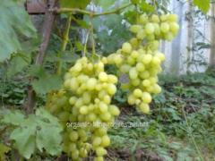 Butaşi de struguri de soiuri de vin