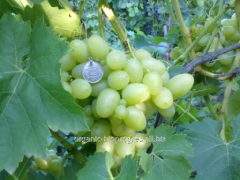 Saplings of grapes white, Valek