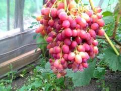Виноград красный мускатный, Дашуня