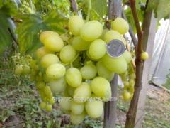 White grapes with harmonious taste