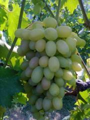 Les plants du raisin