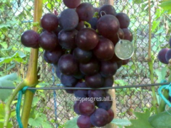Grapes black yellow