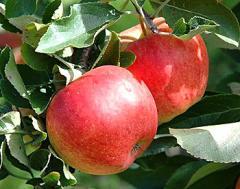 Саженцы яблонь Винница Украина