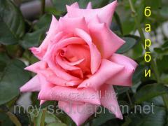 Саженец вьющихся плетистых роз Барби