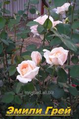 Саженец вьющихся плетистых роз Эмели Грей