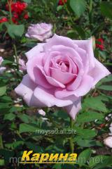 Саженец вьющихся, плетистых роз Карина
