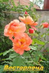 Саженец вьющихся плетистых роз Вестерленд