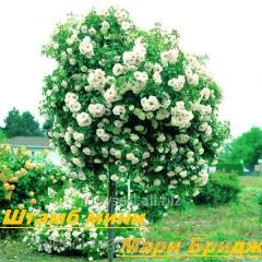 Саженец штамбовой розы мини Мари Бридж