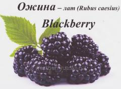 Frozen timber (a wild) blackberries