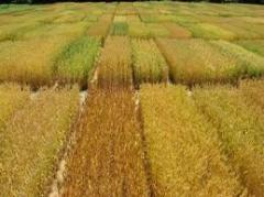 Seeds of highly productive grades of summer grain,