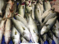 The live, cooled fish, pike perch, cupid, korop, a