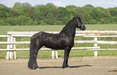 Frisian horse Elza