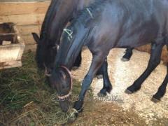 Stallion of the Frisian breed of Tom