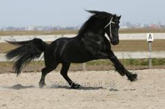 The Frisian horse 4 years - 166 cm