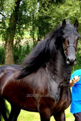 The Frisian horse of 5 years - 165 cm, the Star