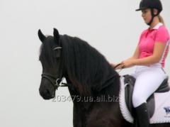 Frisian horse 3-4 years Greta of 164 cm