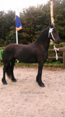 Frisian stallion of 166 cm of 6 years