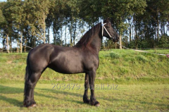 Frisian horse of 168 cm of 7 years