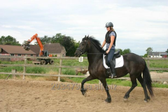 Frisian horse of 168 cm 4 years