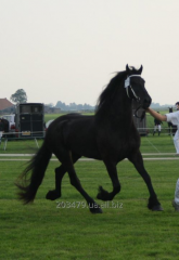 Frisian horse of 168 cm 4 years exhibition