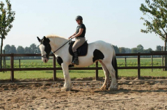 Horse of breed Tinker pippy1 - 7 years of 161 cm