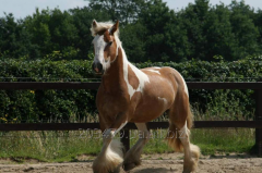 Horse of breed Tinker bruce3 is measured 4 years
