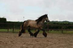 Horse of breed Tinker casanova4 stallion 3 years