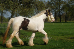 Horse of breed Tinker goliath5 stallion 3 years of