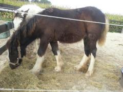 Лошадь породы Тинкер 6 кобыла 7 месяцев, черная