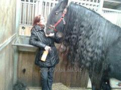 Лошадь породы Тинкер Маша 7 лет кобыла 160 см