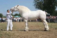 Horse - Persheron heavy truck white
