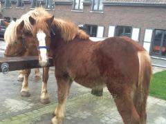 Horse - a heavy truck of Flamandec 8 Mesya